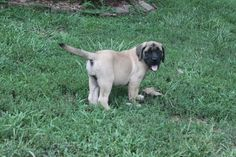 English Mastiff Puppies for sale - this is a male at http://www.network34.com/dogsbreed/english-mastiff-puppies-for-sale-pa-md-ny-nj-dc/