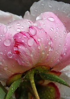 Peony with dew drops -- I never saw a peony I didn't like. Remember that the ants are what open the flowers; don't kill them. Just shake them off.
