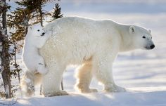 Cheeky Cub Clings To Polar Bear Mom During His First Time In Snow (Foto: Daisy Gilardini)