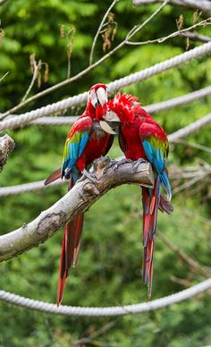 Two Grooming Green-winged Macaws.