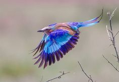 Lilac Breasted Roller - Timothy Rucci
