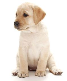 Yellow Labrador Puppy. Where to begin! Looks like he already knows how to sit!