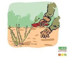 De la mi-février à la mi-mars s'ouvre une période favorable à l'entretien des rosiers. Tailler, nourrir et prévenir les maladies fongiques comme le Marsonia, sont les 3 gestes à effectuer. http://www.jardipartage.fr/entretien-rosier-hiver/