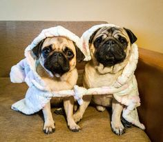 What do you do when you have only one bathrobe?... You share it   #mauricethepug #bubble #queenb #sister #brother #bathrobe #sharingiscaring #share #bigbrother #happydog #funnypicture #funnydog #pugstory #pugchat #puglife #fun #joy #tirgumures #romania #bathtime #funnyanimals #dog #puppy #littlepug #mops #pug