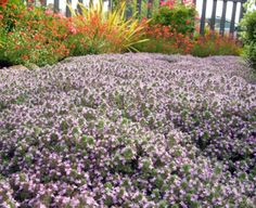 Whooly Thyme - parking strip steppable ground cover (tough and drought tolerant)