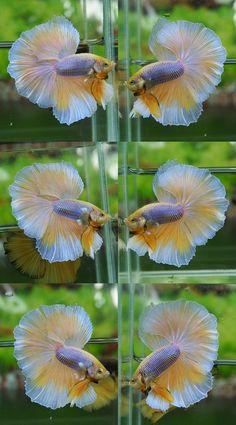Mustard Gas Butterfly Betta. Gorgeous!