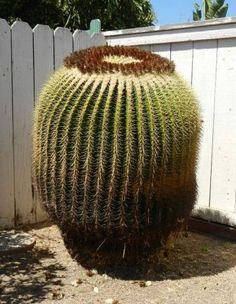 150+ year old Barrel Cactus