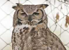 A great horned owl at Willow Park Zoo in Logan, Utah. (Photo by Jennifer Meyers)