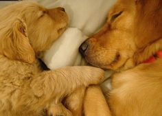 and this is why I want a Golden Retriever. Cute as puppies, cute as adults, and cute as old grey dogs. Cute Puppies, Cute Dogs, Dogs And Puppies, Doggies, Baby Animals, Funny Animals, Cute Animals, I Love Dogs, Puppy Love