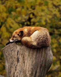 Red Fox by Fredrik Kadesjö