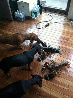 uneasy about dinner that can fight back.  Dachshund oh good grief!.  I can just imagine, my doxie goes nuts over a toad!  :)