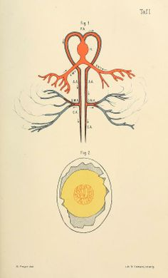 Specielle physiologie des embryo : - Biodiversity Heritage Library
