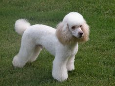 GREEN EYED POODLE - Google Search