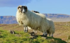 Isle of Skye, sheep by Europe Trotter on 500px