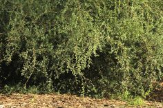 Leptospermum laevigatum : Coast Tea tree | Atlas of Living Australia