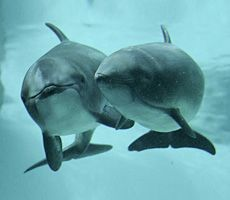 Meet Jack and Daisy. These two harbour porpoises have amazing survival stories to share with you. They were both found as very young animals stranded on beaches, Jack in 2011 in Horseshoe Bay and Daisy in 2008 off the coast of Vancouver Island. No one knows how or why they were stranded but the Vancouver Aquarium Marine Mammal Rescue Centre was called in on both cases to help right away.