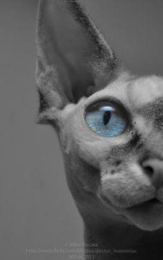 * Author: Nostradamus Ate My Hamster Pretty Cats, Beautiful Cats, Animals Beautiful, Cute Cats, Cute Animals, Devon Rex Cats, Cornish Rex Cat, Sphinx Cat, Mundo Animal