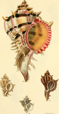 The conchological illustrations or, Coloured figures of all the hitherto unfigured recent shells / - Biodiversity Heritage Library Antique Illustration, Botanical Illustration, Illustration Art, Scientific Drawing, Painted Shells, Shell Art, Botanical Prints, Sea Creatures, Natural History