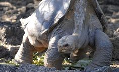 Giant tortoise death casts shadow over Galapagos Islands. The recent death of the giant tortoise Lonesome George, the most famous resident of the Galapagos Islands, has worried the tourist industry according to Henry Nicholls. Ecuador, Largest Sea Turtle, Tortoise Habitat, All About Water, Giant Tortoise, Galapagos Islands, Animal Facts, Reptiles And Amphibians, Tortoises