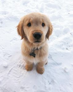 Meet Hudson The Golden. Chewer of socks lover of toes and king of the snow. (: @Hudson_goldenboy)