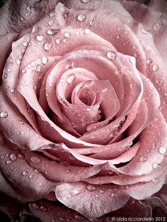 Vintage Pink Rose - finelaceandpearls: A rose by any other name would smell as sweet / Pink Rose on @We Heart It.com - whrt.it/13onnYt