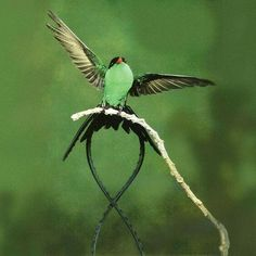 green-and-black streamertail
