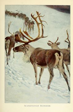 Wild Life of the World 1916 Scandinavian Reindeer Canvas Art - Friedrich Wilhelm Kuhnert x Nature Sauvage, Nature Illustration, Oh Deer, Reno, Wildlife Art, Natural History, Graphic, Mammals, Cute Animals
