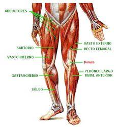 musculos y tendones de la pierna humana