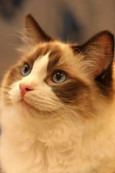 Norwegian Forest Cat Ragdoll Cat 최고 인기 이미지 77개 2015