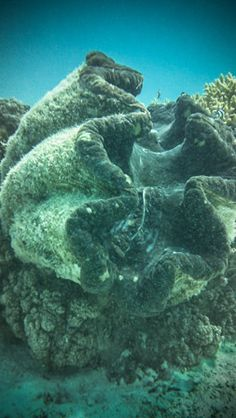 Cook Islands----Snorkeling Aitutaki's lagoon offers a glimpse of giant clams the size of a businessman's briefcase.