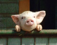 Little Piggie Photo by Ken Maple