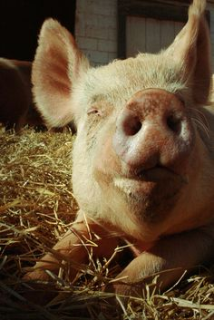 How can you not love pigs?