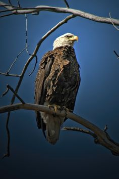 Regal Eagle Oh Beautiful, Beautiful Birds, Animals Beautiful, Kinds Of Birds, Love Birds, Bird Pictures, Animal Pictures, Eagle Images, Flora