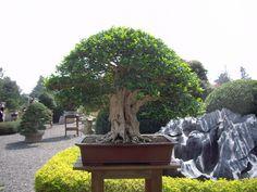 Murraya paniculata Murraya Paniculata, Bonsai Art, Ficus, Gallery, Nature, Plants, Naturaleza, Roof Rack, Plant
