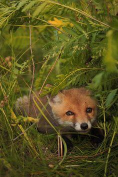 Red Fox Cub by Роман Рысь - Roman Lynx on 35Photo