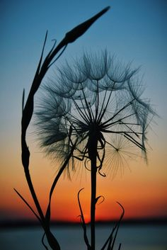 """Dandy Lion"" ~ #Kanopolis #Kansas © 2014 Skip Hunt #dandelion #flower #nature"