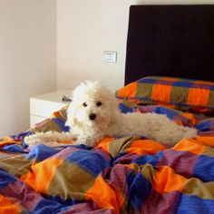 My little white dog on my bed this morning