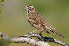 Lark Sparrow. Spring Lake Park, Texarkana, TX. April 2009