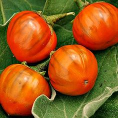 Brazilian Orange Eggplant Solanum gilo heirloom by SmartSeeds