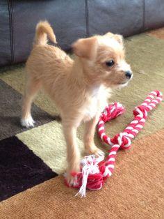 Chorkie. (Chihuahua-yorkie)