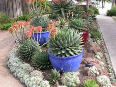 Plant Health and Cultivation of Spiral Aloe - Succulent Gardens