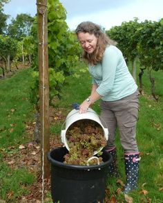 Oatley Vineyard, Somerset UK. Ruth - Kernling harvest October 2011