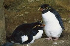 Rockhopper Penguin (Eudyptes chrysocome) pair at nest, one is incubating an egg, Antipodes Island, New Zealand