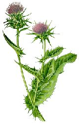 Milk thistle was approved in 1986 as a treatment for liver disease and it is widely used to treat alcoholic hepatitis, alcoholic fatty liver, cirrhosis, liver poisening and viral hepatitis. It has also been shown to protect the liver against medications such as acetaminophen, a non-aspirin pain reliever