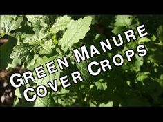 Green Manure or Cover Crops are a great way to grow your own fertilizer among other fantastic benefits. Research into cover crops has been extensive and well thought out find out all of the benefits science has proven! Eco Garden, Edible Garden, Garden Ideas, Vegetable Gardening, Organic Gardening, Gardening Tips, Exotic Plants, Green Plants, Starting A Farm
