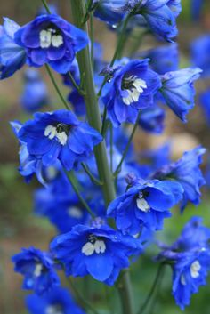 Delphiniums tall beautiful, can be up to tall. great for church, venue bouquets and buttonholes Love Flowers, My Flower, Flower Power, Beautiful Flowers, Wedding Flowers, Flower Types, Delphinium Flowers, Delphiniums, Garden Bird Feeders