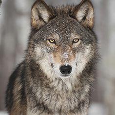 Du bist ein einsamer Wolf
