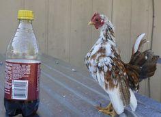 serama chickens idaho - Google Search