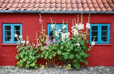 Stockrosorna passar hundraprocentigt bra mot den röda fasaden. Sätta mot carporten?