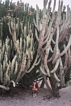 giant cacti plants